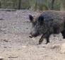 Fauna selvatica; contenimento cinghiali, Morroni provvedimenti urgenti